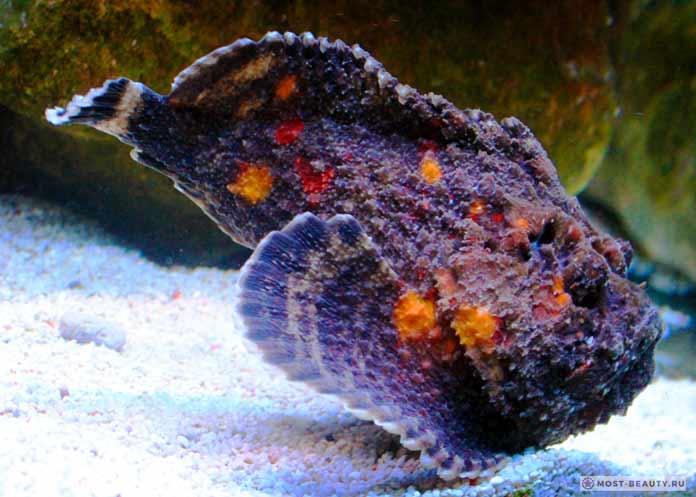 Самые ядовитые рыбы: Бородавчатка. CC0