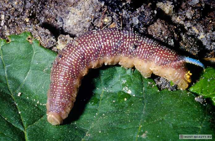 Самые ядовитые гусеницы: Бражник лиловый. СС0