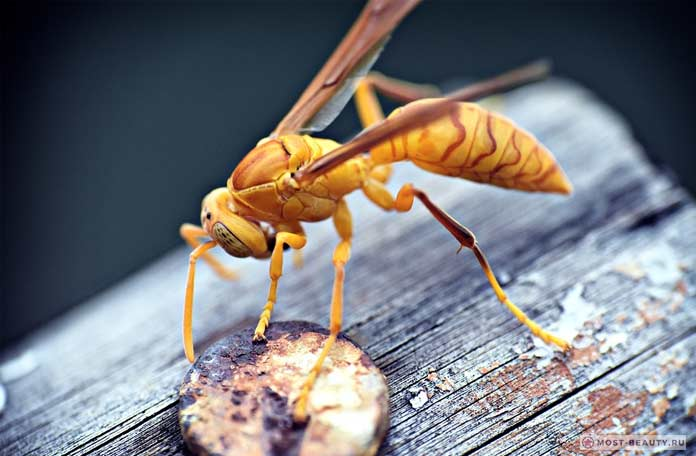 Самые больно жалящие насекомые: Бумажные осы