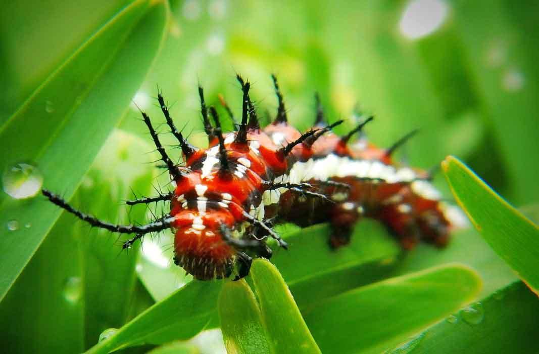 Личинки гусеницы