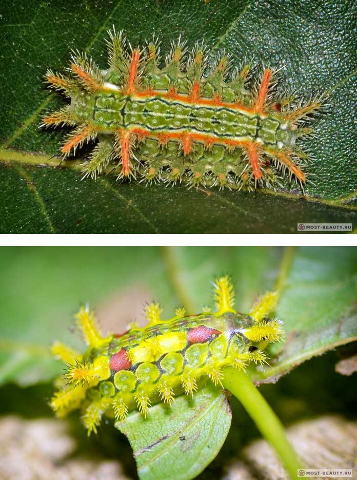 Самые ядовитые гусеницы: Колючая дубовая гусеница. СС0