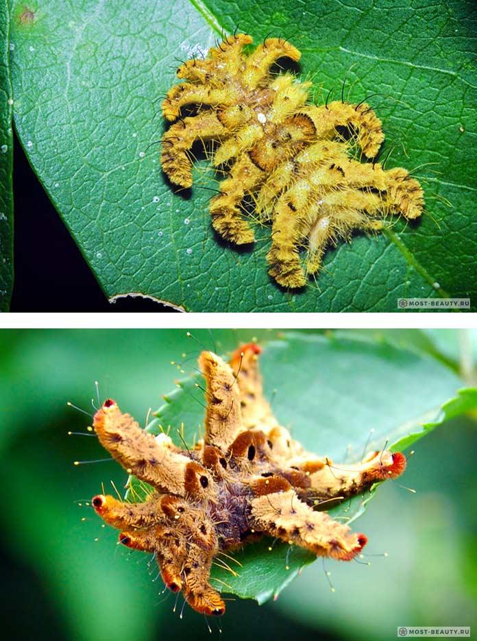 Самые ядовитые гусеницы: Моль-ведьма