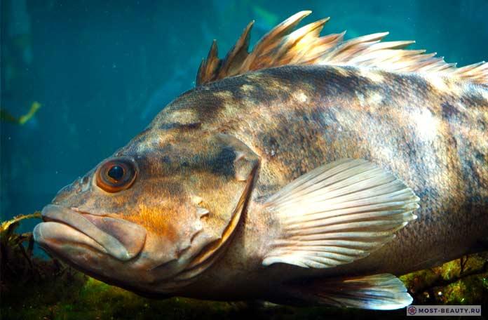 Самые ядовитые рыбы: Морские окуни. CC0