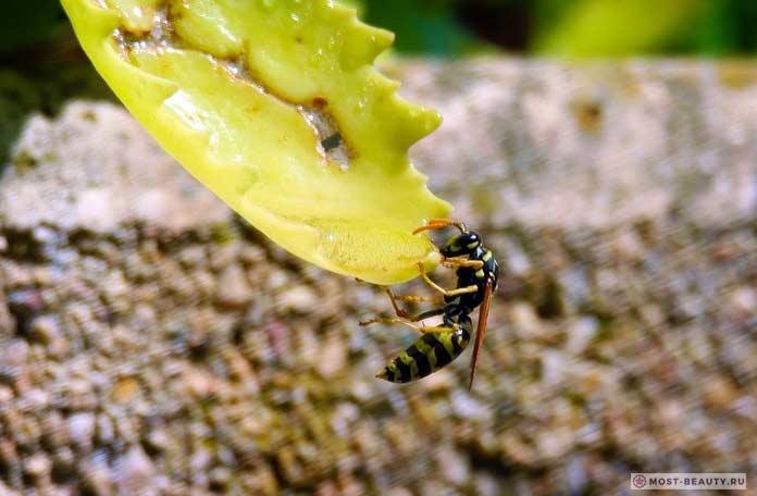 Самые сильно жалящие насекомые: Общественные осы