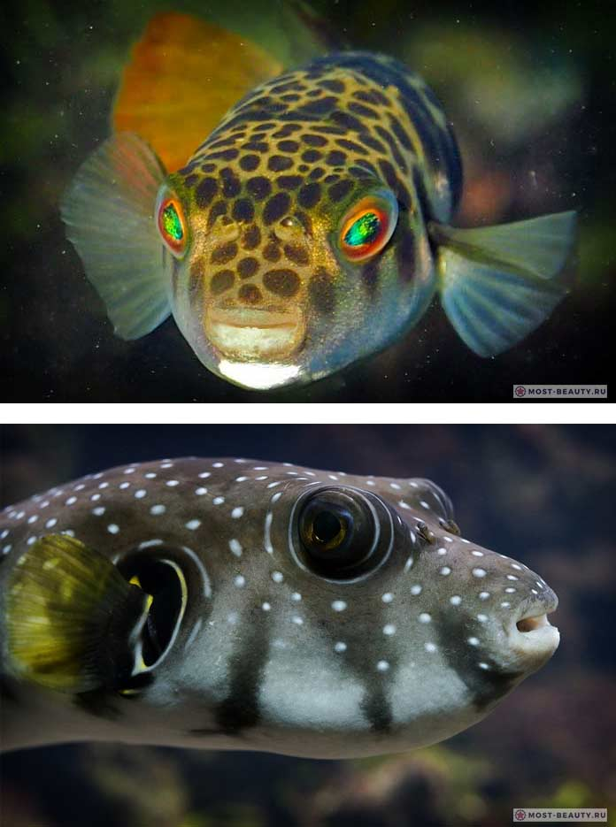 Рыба Фугу. СС0