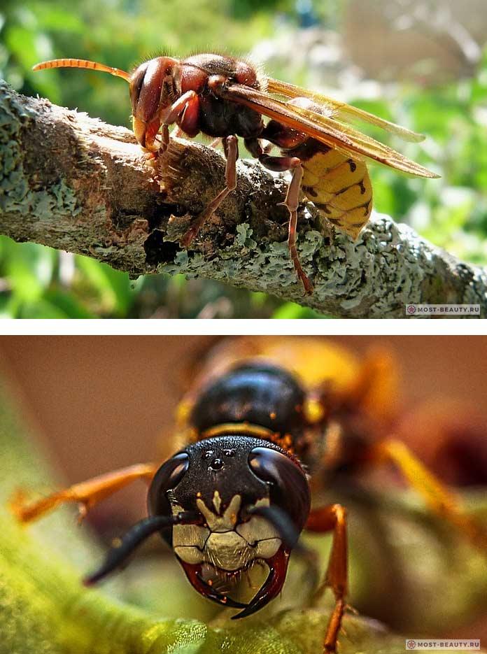 Самые больно жалящие насекомые: Шершень
