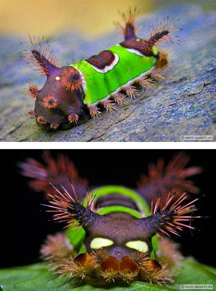 Самые ядовитые гусеницы: Седлистая гусеница