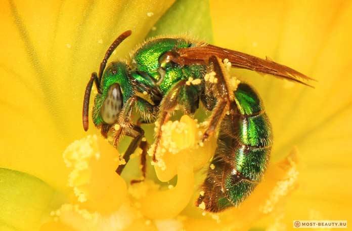 Самые сильно жалящие насекомые: Sweat bee