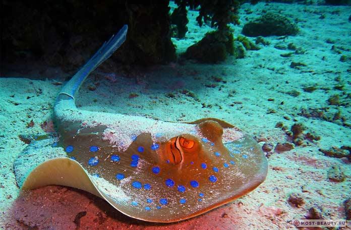 Рифовый скат. СС0