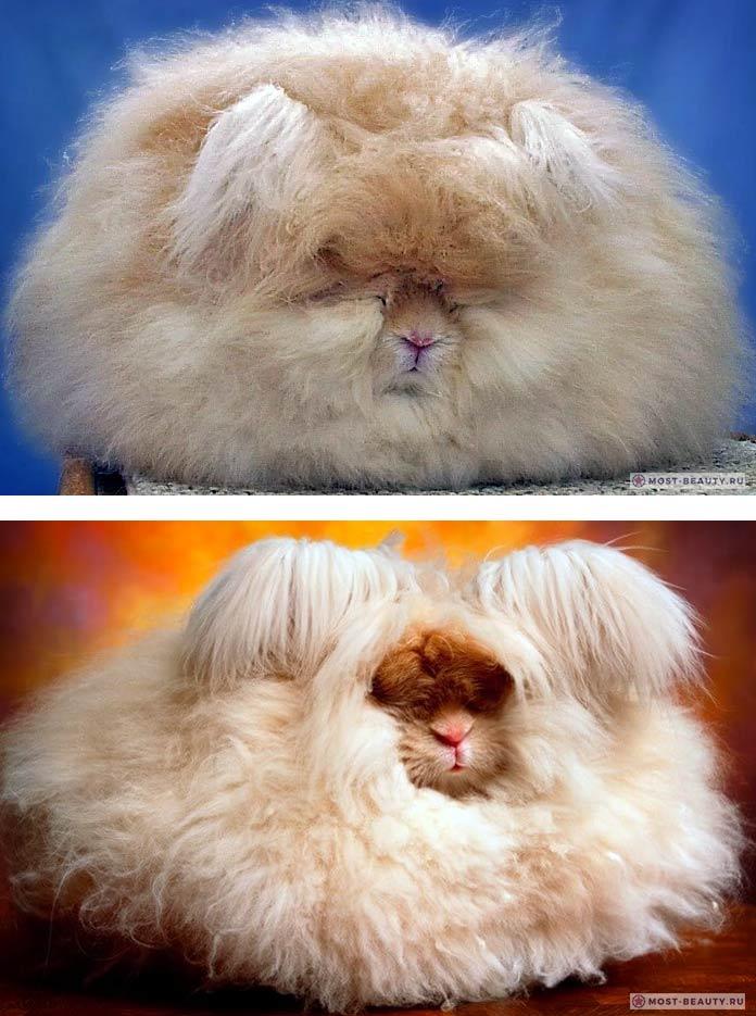 Красивые кролики: Ангорский лев