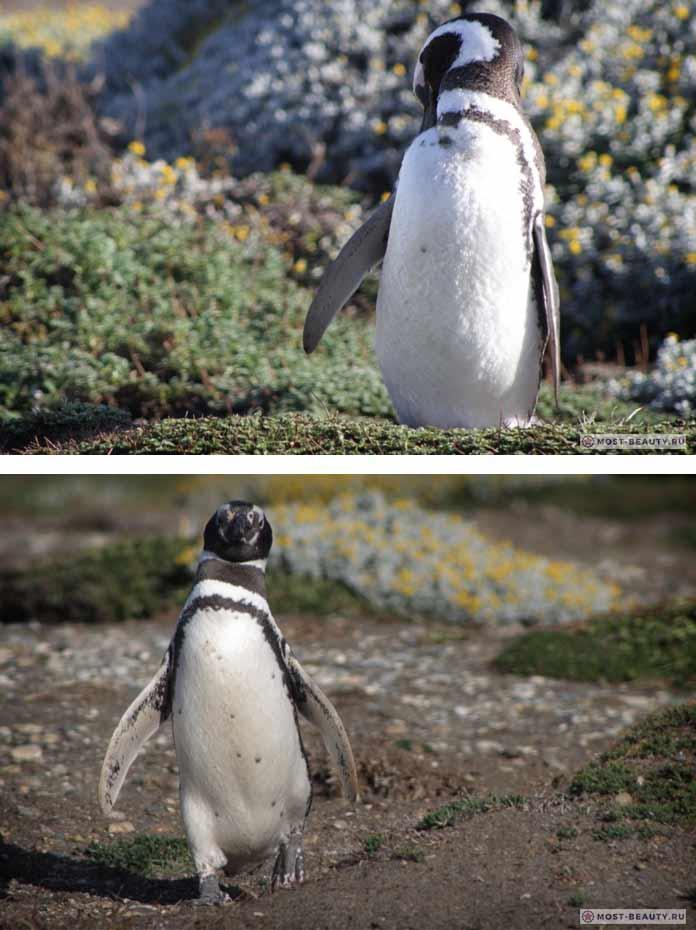 Антарктический пингвин. CC0