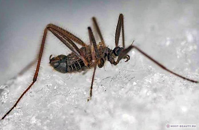 Самые красивые фото комаров: Belgica antarctica
