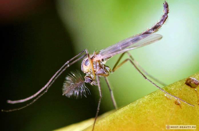 Самые красивые фото комаров: Дергун