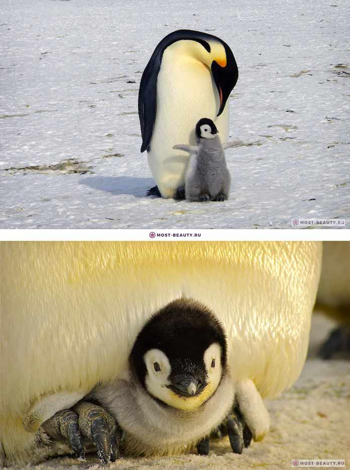 Детеныш пингвина. CC0