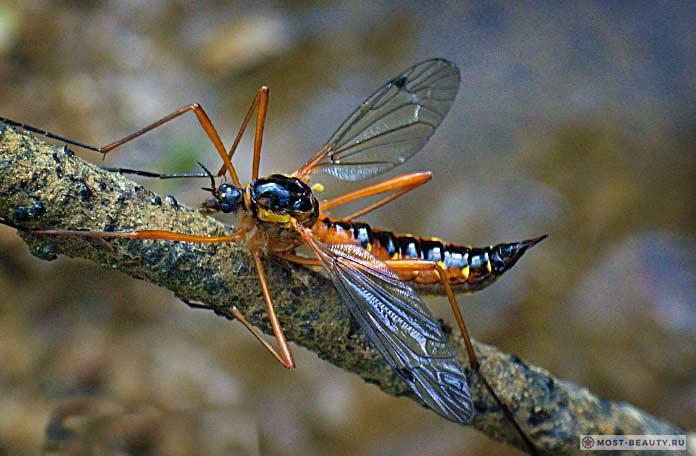 Самые красивые фото комаров: Долгоножка праздничная