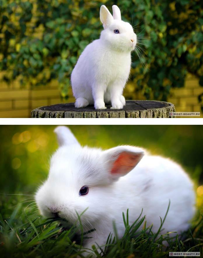 Красивые кролики: Гермелин