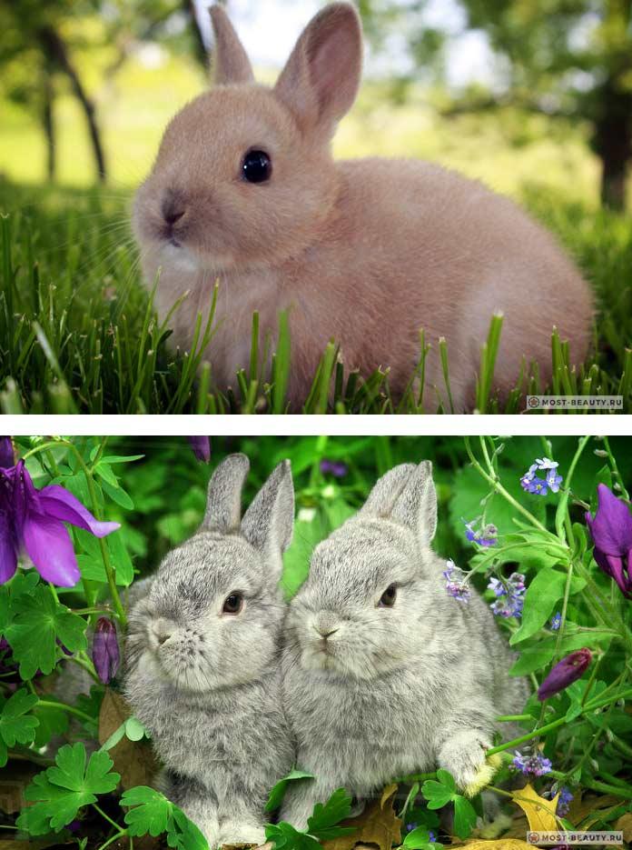 Красивые кролики: Голландский карликовый