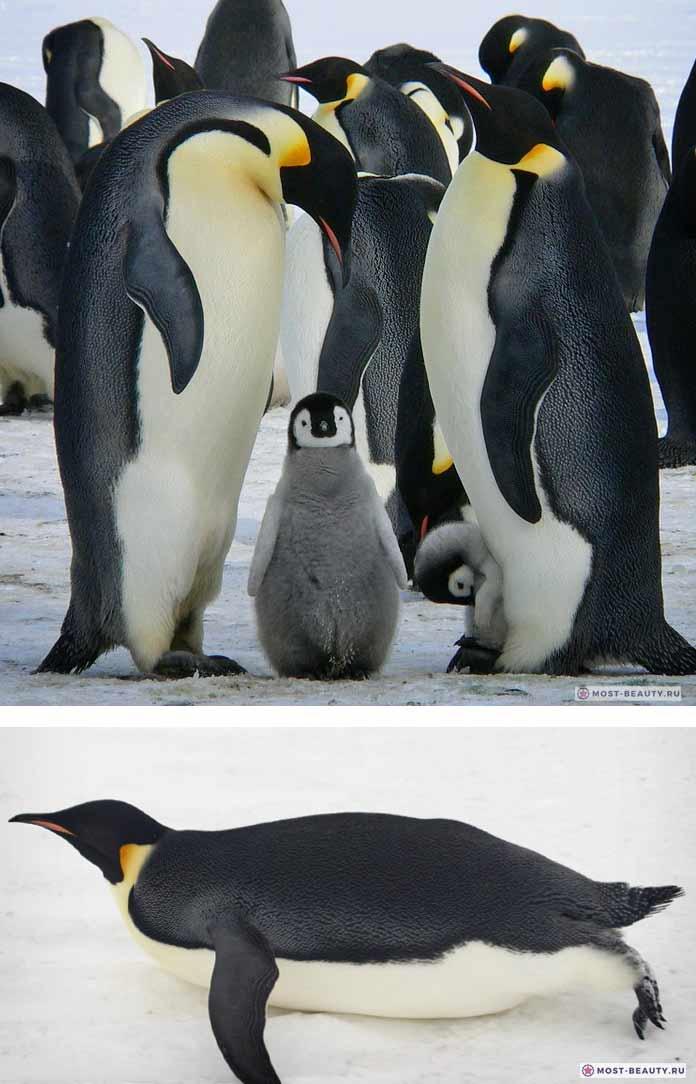 Красивые пингвины: Императорский пингвин. CC0