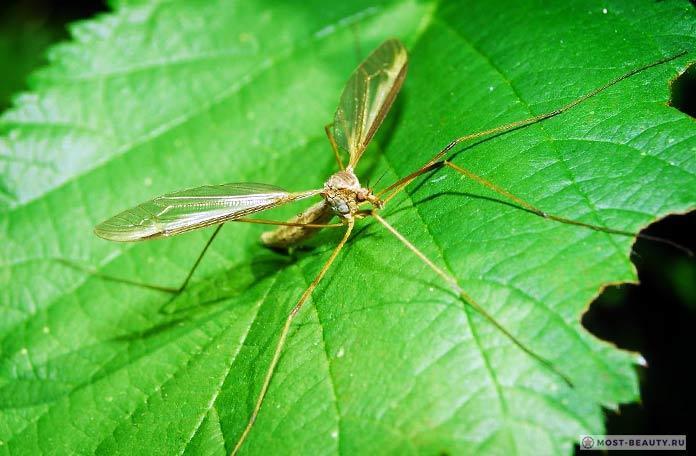 Самые красивые фото комаров: Караморы