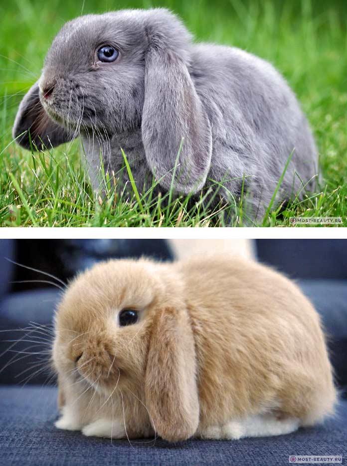 Красивые кролики: Карликовый баран