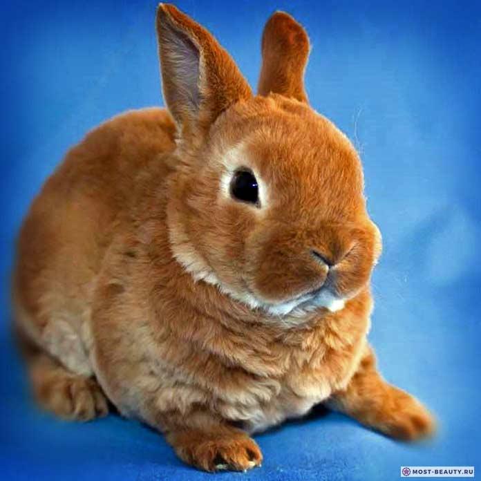 Красивые кролики: Карликовый рекс