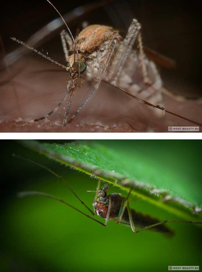 Красивые макро-фото комаров. CC0