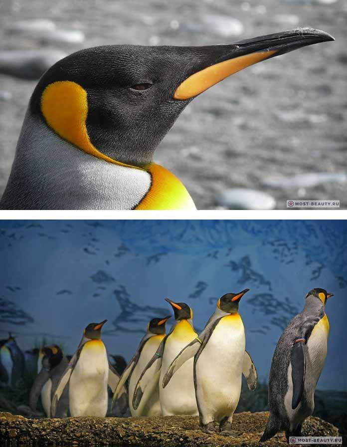 Королевский пингвин. CC0