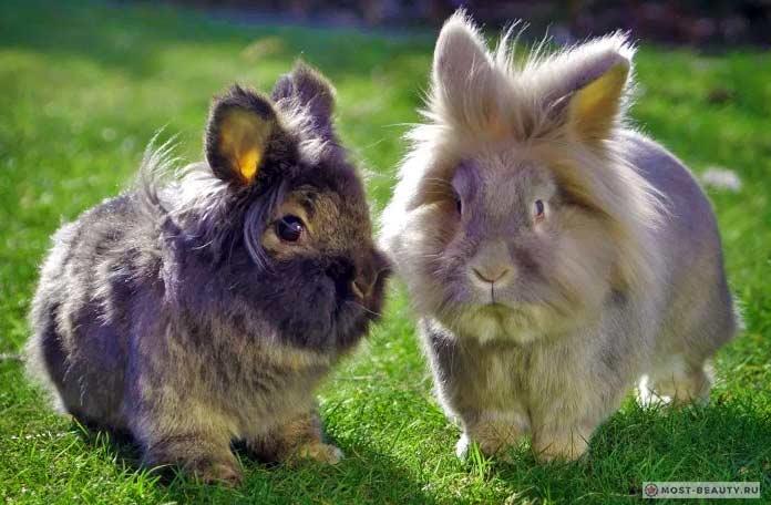 Красивые кролики: Львиная головка