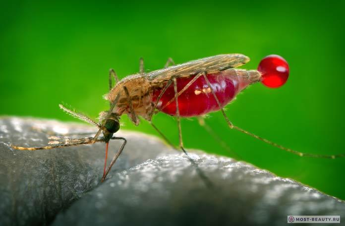 Малярийные комары. СС0