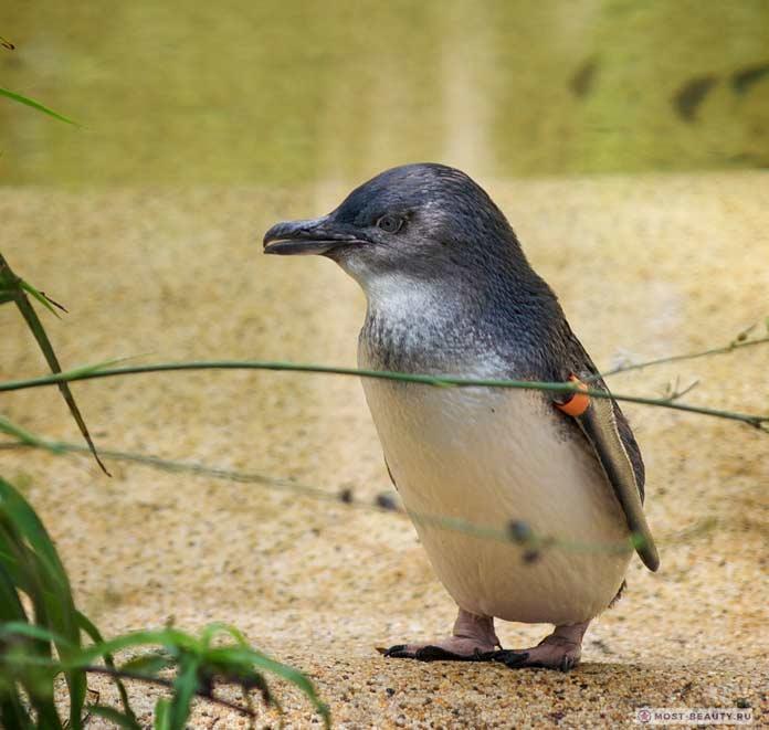 Красивые пингвины: Малый пингвин