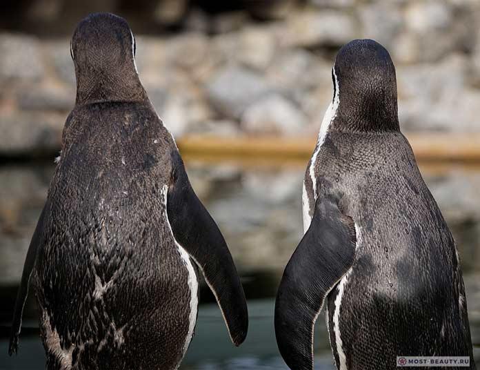 Пингвины. CC0