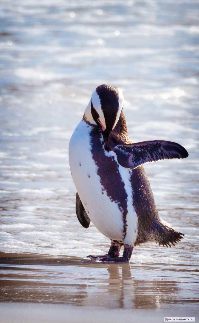 Африканский пингвин. CC0