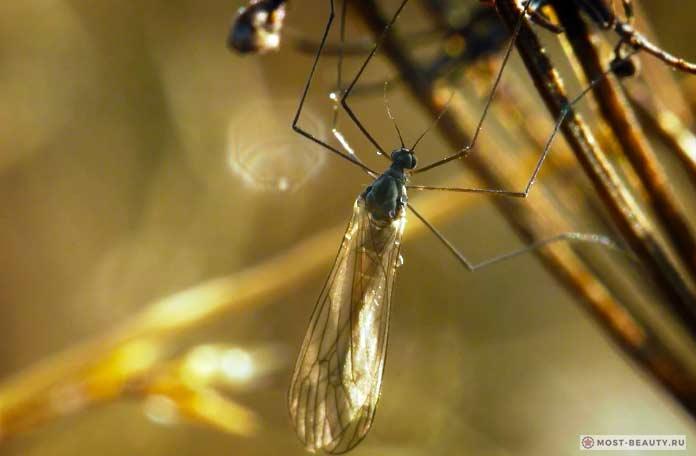 Зимние комары