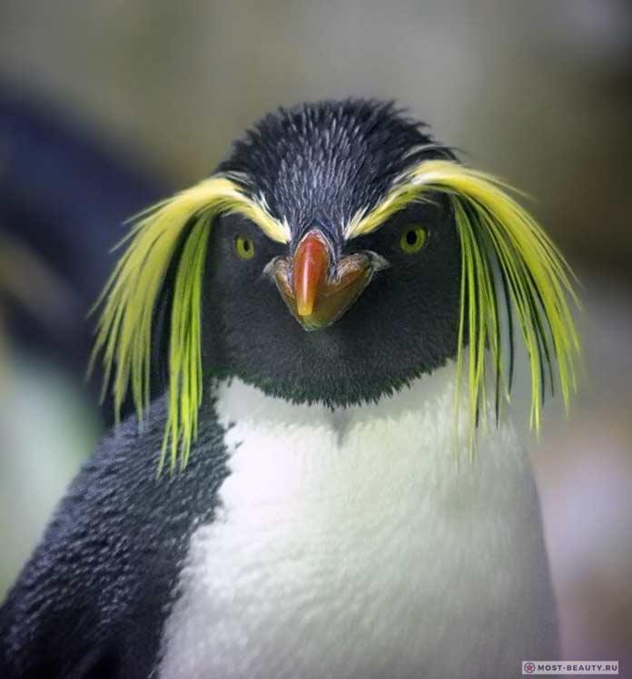 Красивые пингвины: Золотоволосый пингвин. CC0