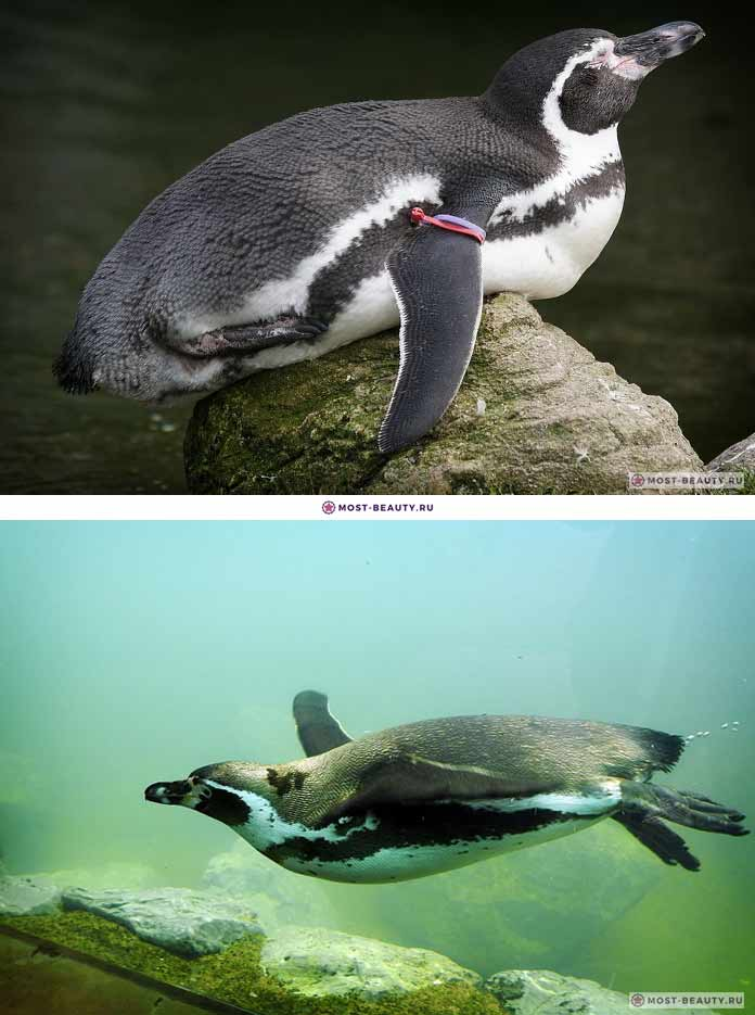 Красивые пингвины: Гумбольдта. CC0