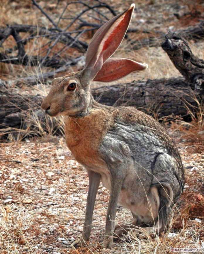Антилоповый - один из красивыеших видов зайцев