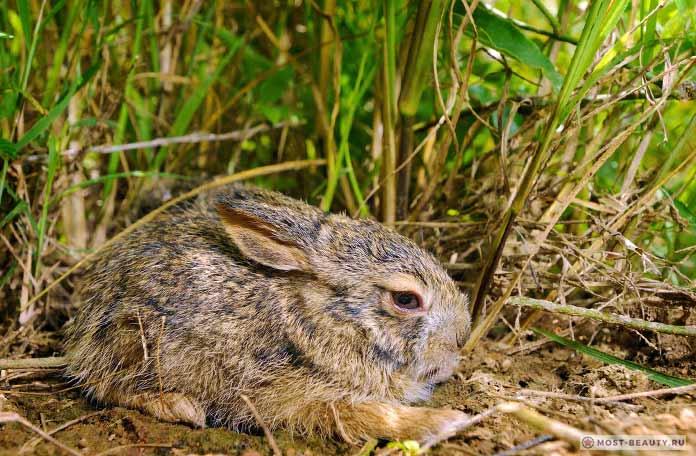 Красивые виды зайцев: Бирманский. СС0