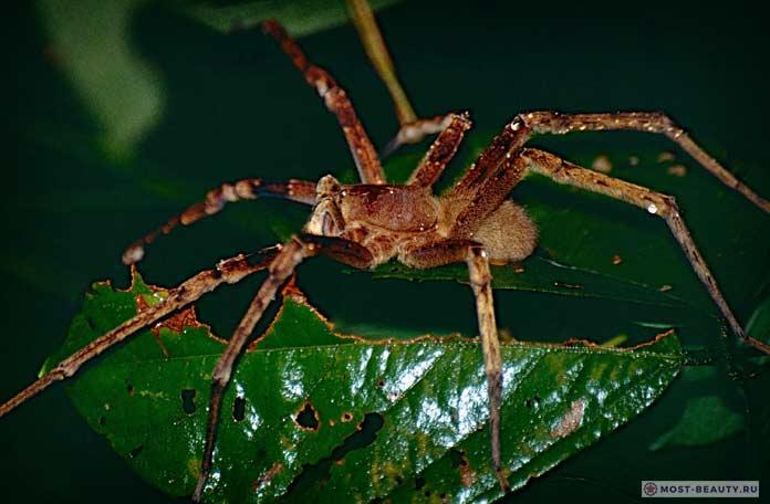 Самые ядовитые пауки: Бразильский паук бегун. СС0