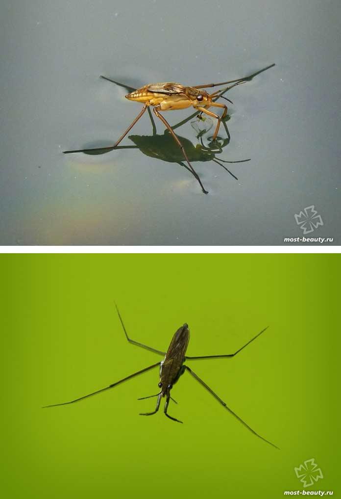 Gerridae. CC0