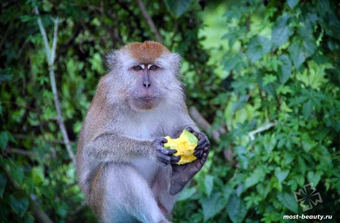 Самые красивые виды обезьян: Гусар. СС0