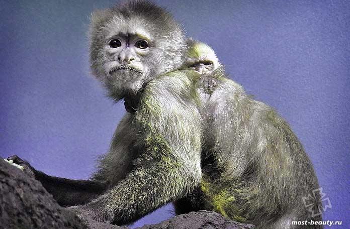 Самые красивые виды обезьян: Капуцин-плакса