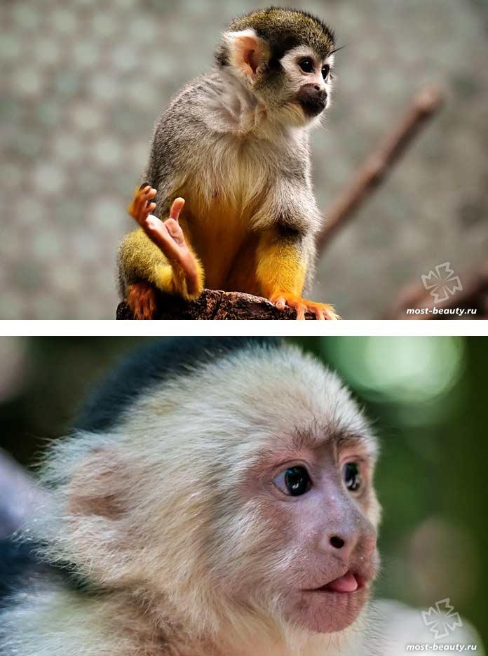 Самые красивые виды обезьян: Капуцины. СС0