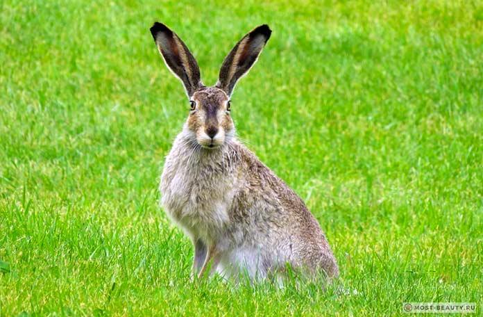 Корсиканский заяц. СС0