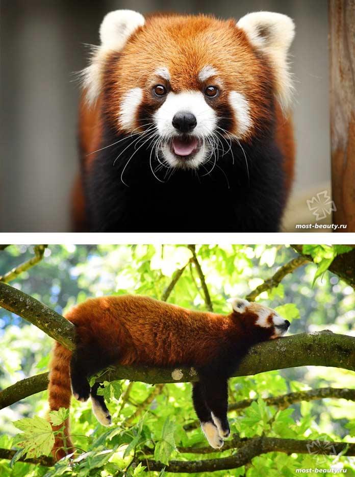 Красная панда. CC0