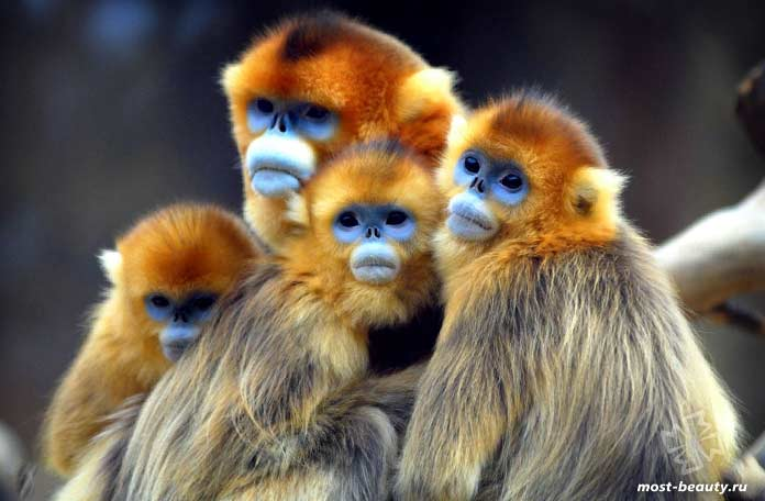 Самые красивые виды обезьян: Курносые золотистые обезьяны