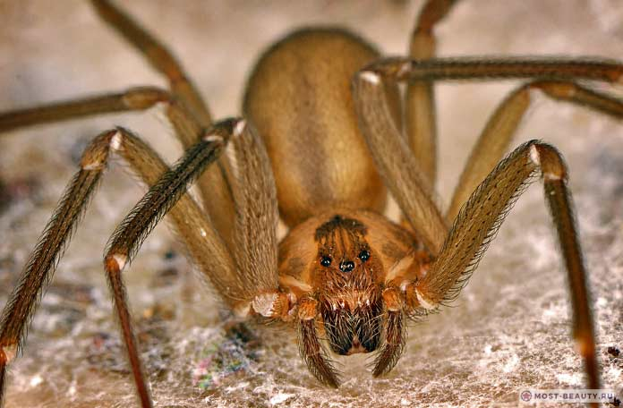 Самые ядовитые пауки: Песочный паук