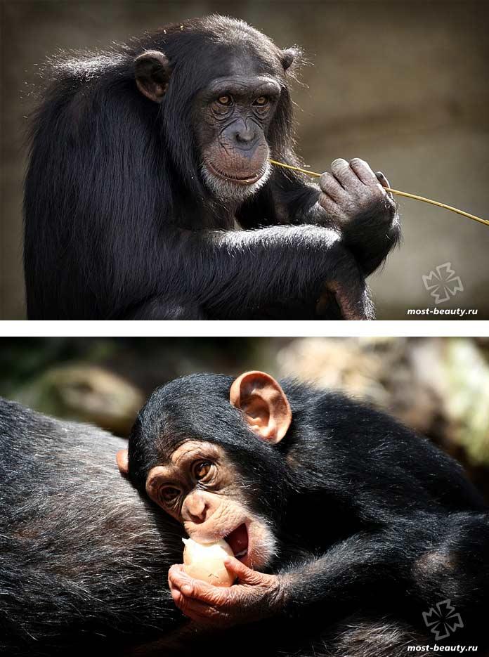Самые красивые виды обезьян: Шимпанзе. СС0