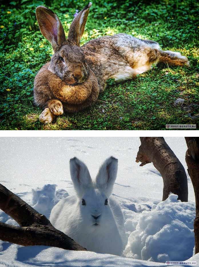 Самые красивые виды зайцев