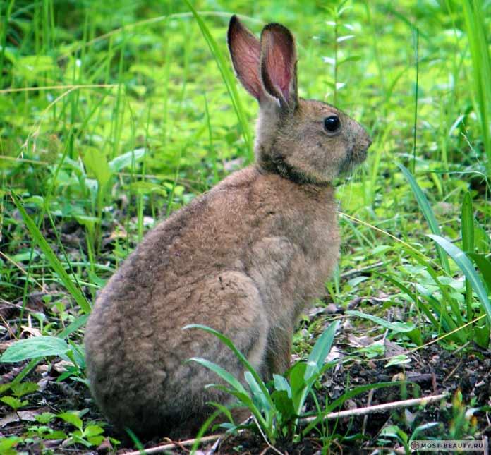 Японский заяц - очень красивый вид. СС0