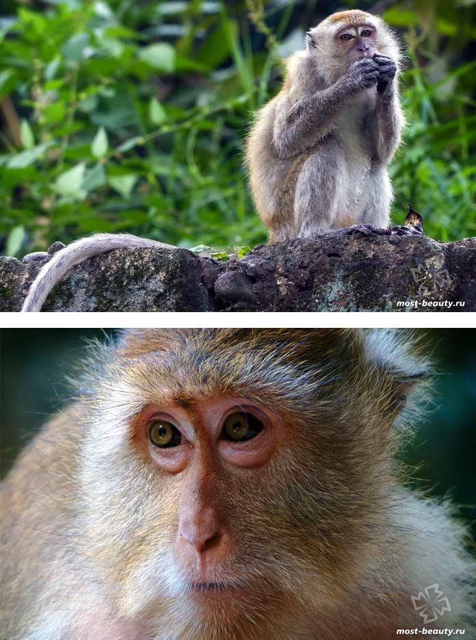 Самые красивые виды обезьян: Яванские макаки. СС0